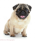 09433-Pug-white-background